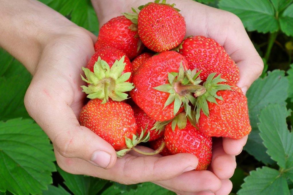 Pungo strawberries